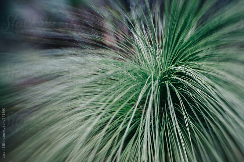 Australian native grass tree Xanthorrhoea, horizontal, shot with specialty lens by Jacqui Miller for Stocksy United