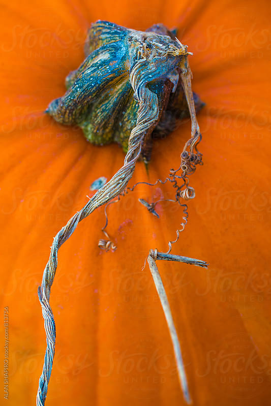 Pumpkin by alan shapiro for Stocksy United