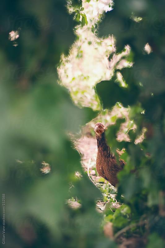 backyard chicken by Gillian Vann for Stocksy United