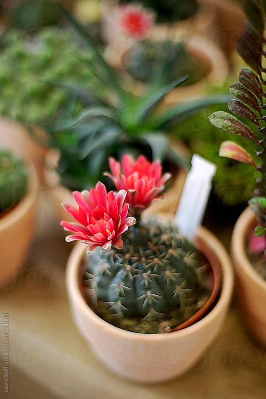 Red flowered cactus in bloom amongst plenty of succulents in pot by Laura Stolfi for Stocksy United