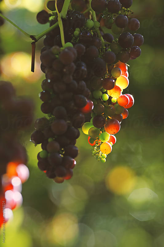 Grapes hanging down in the sunlight by Marcel for Stocksy United