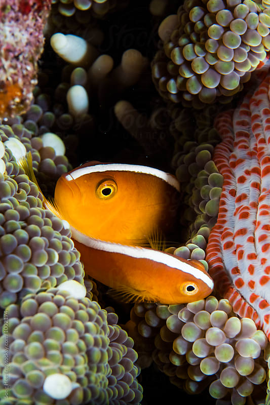 anemonefish family live in soft coral by Song Heming for Stocksy United