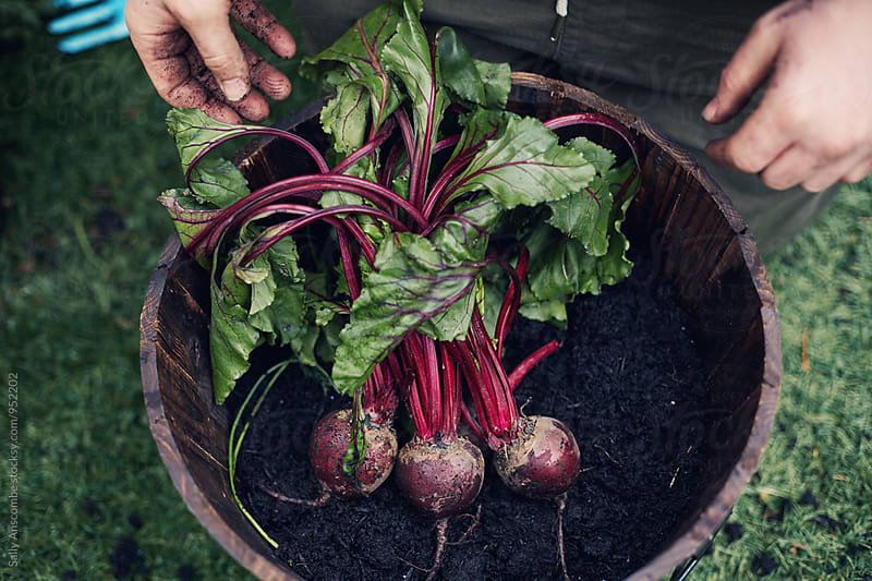 Beetroot by sally anscombe for Stocksy United