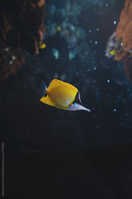 Butterflyfish in aquarium by Rob and Julia Campbell for Stocksy United