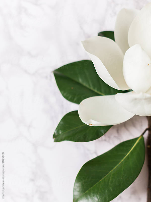 Southern Magnolia Blossom by Marta Locklear for Stocksy United