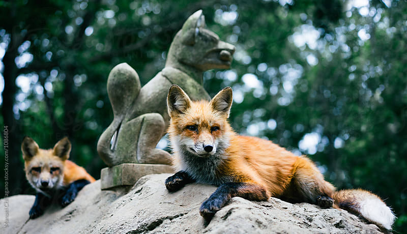 Two red foxes and a statue of fox deity Inari by Manuel Chillagano for Stocksy United