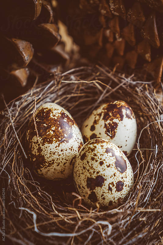 Quail eggs in nest by ACALU Studio for Stocksy United