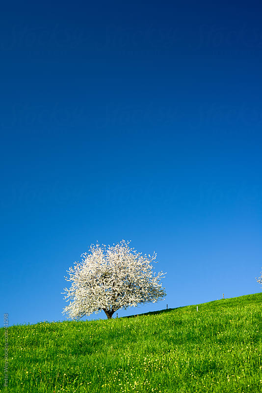 Blossoming tree in spring on green field with blue sky by Peter Wey for Stocksy United