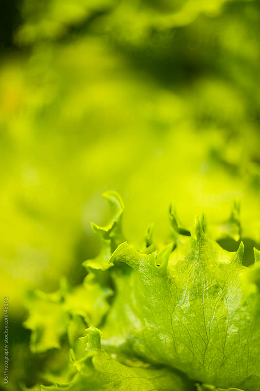Green lettuce by IDS Photography for Stocksy United