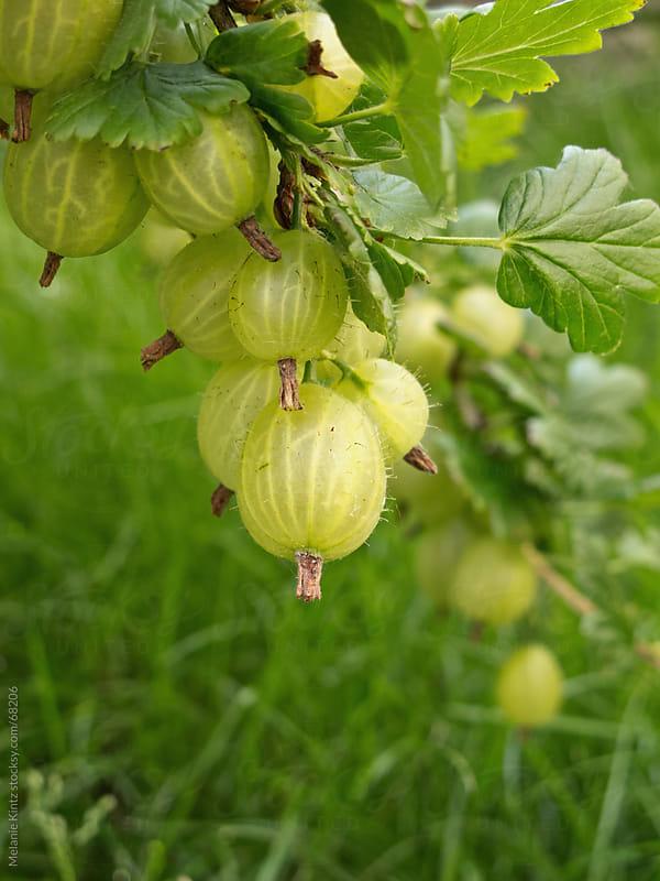 Gooseberries on a branch in the garden by Melanie Kintz for Stocksy United