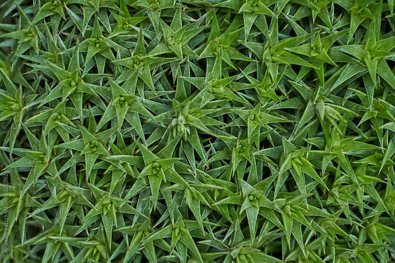 Leaves of green barbed plant by Sasha Evory for Stocksy United