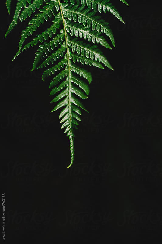 single fern frond against dark background by Jess Lewis for Stocksy United