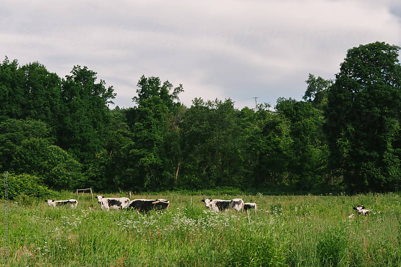 cows grazing in a field by Deirdre Malfatto for Stocksy United