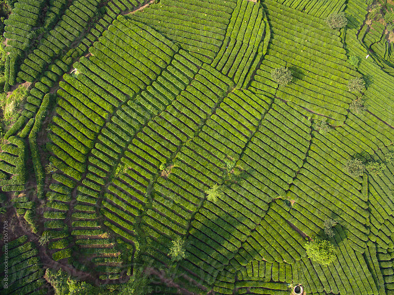 tea field in the mountain  by Bo Bo for Stocksy United
