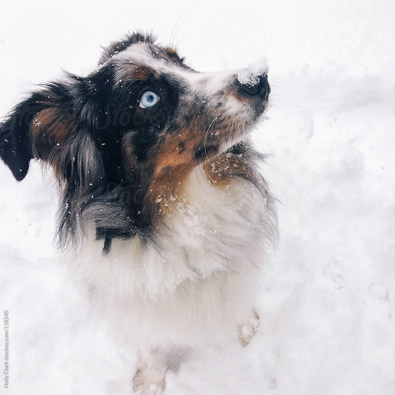 A dog with blue eyes has snow on his nose. by Holly Clark for Stocksy United