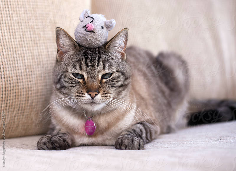 Siamese cat looking annoyed with her toy mouse on her head by Carolyn Lagattuta for Stocksy United