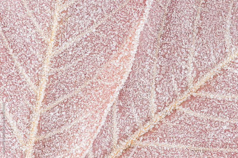 Frost covered maple leaves, closeup by Mark Windom for Stocksy United
