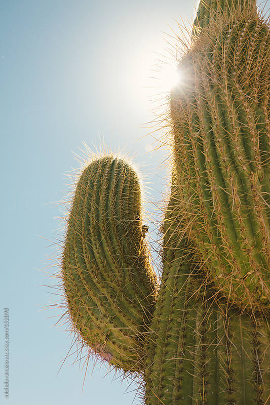 Cactus by michela ravasio for Stocksy United
