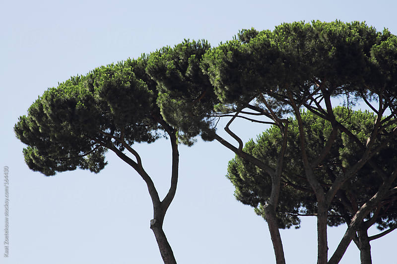 Stone pine trees against a clear blue sky in Rome by Kaat Zoetekouw for Stocksy United