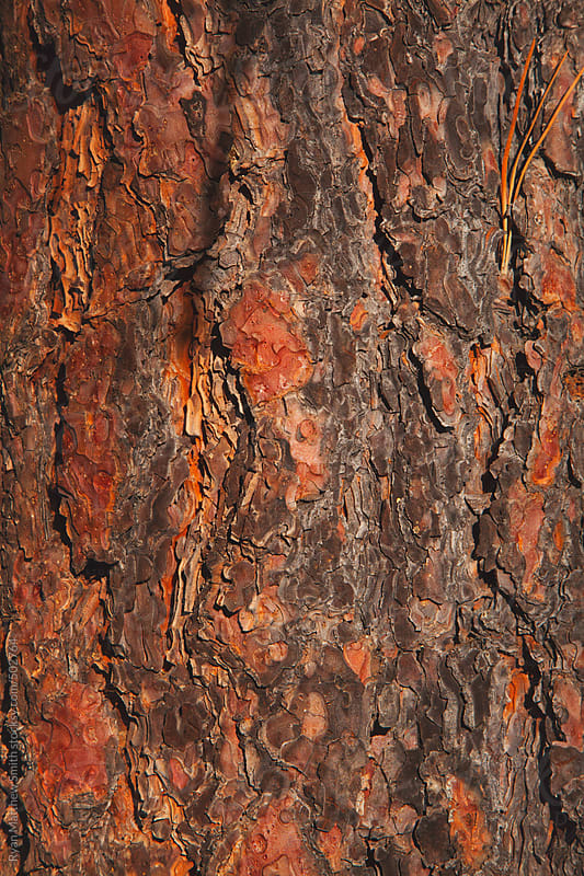 Pine Bark Texture by Ryan Matthew Smith for Stocksy United