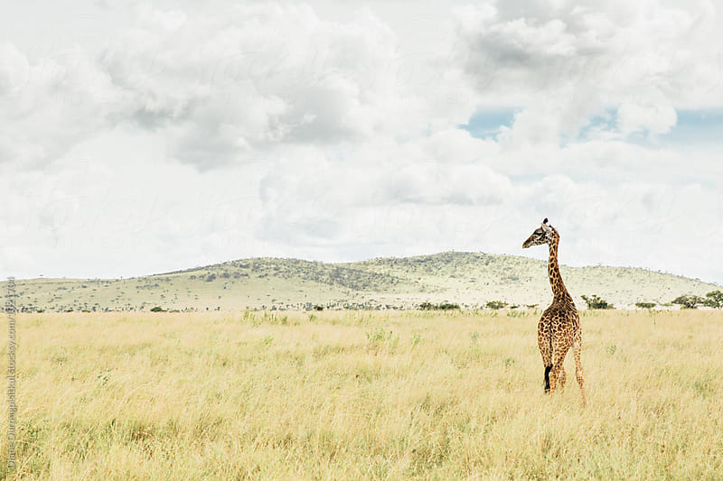 Tall Giraffe  by Diane Durongpisitkul for Stocksy United