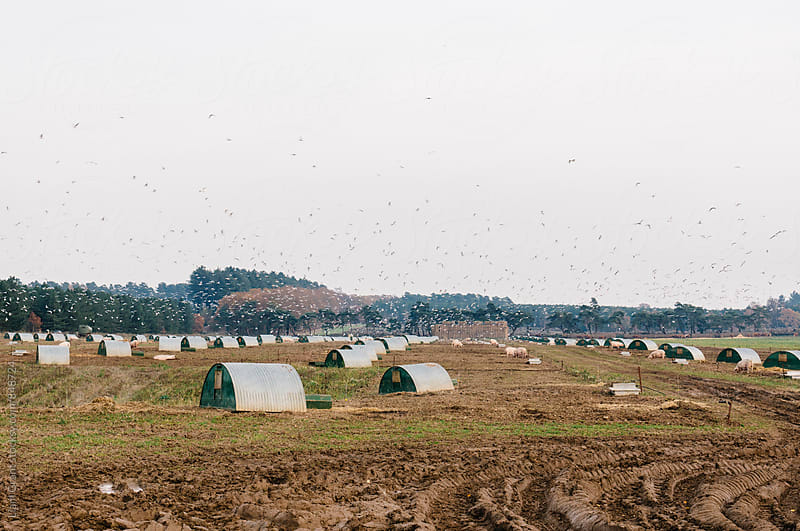 Birds flying over a pig farm. Norfolk, UK. by Liam Grant for Stocksy United