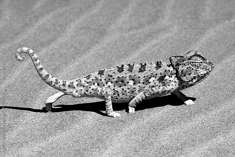 A chameleon in the desert in black and white,Namibia, Africa by Jaydene Chapman for Stocksy United