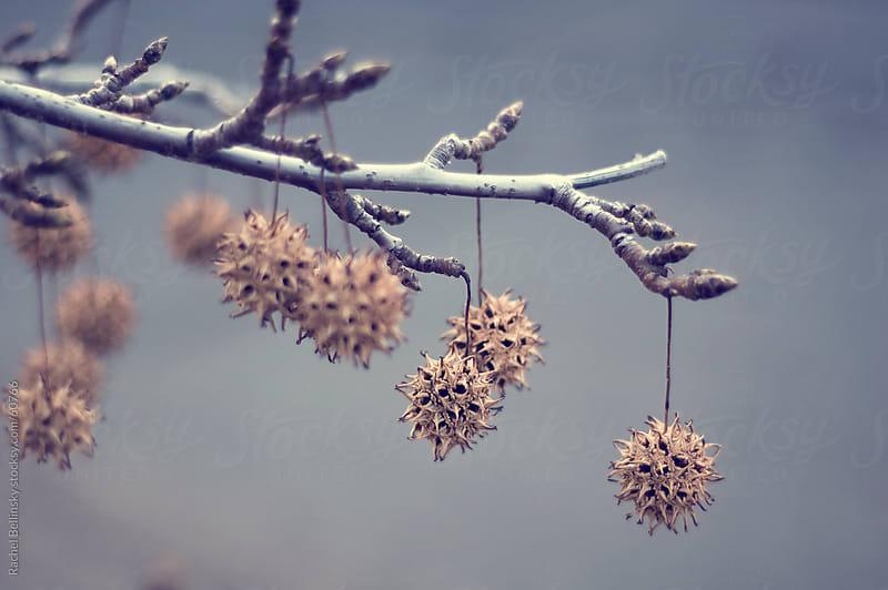 Sweetgum tree spiky ball pods by Rachel Bellinsky for Stocksy United