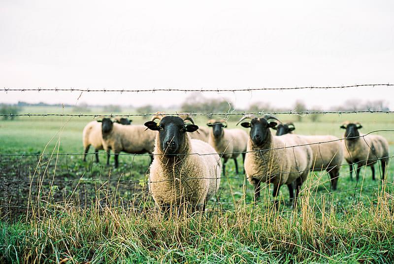 Sheep by Sam Burton for Stocksy United