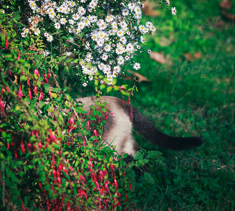 Cat exploring bushes in bloom in sunny garden by Laura Stolfi for Stocksy United