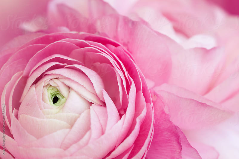 Macro of pink ranunculus flower petals by Kerry Murphy for Stocksy United