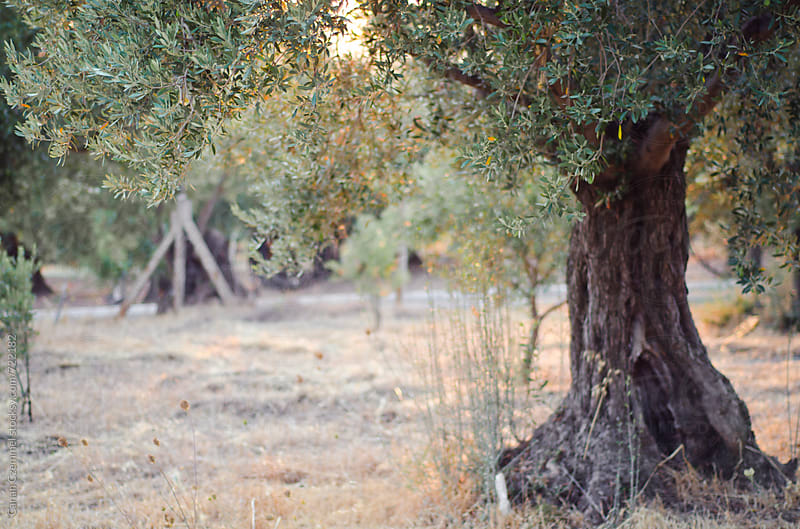 olive trees by Canan Czemmel for Stocksy United