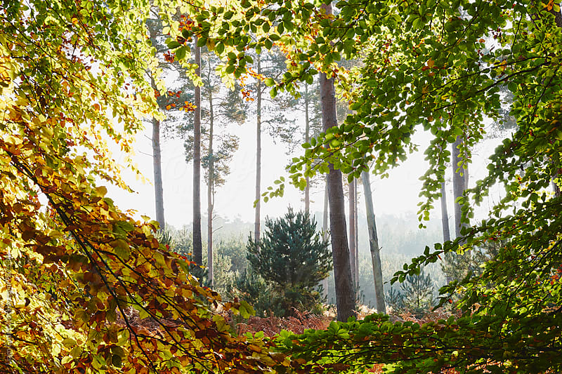Pine trees viewed through autumnal Beech tree leaves. Norfolk, UK. by Liam Grant for Stocksy United