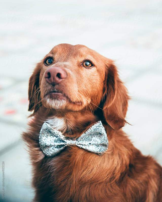 Red dog with a glitter bow tie by Vera Lair for Stocksy United