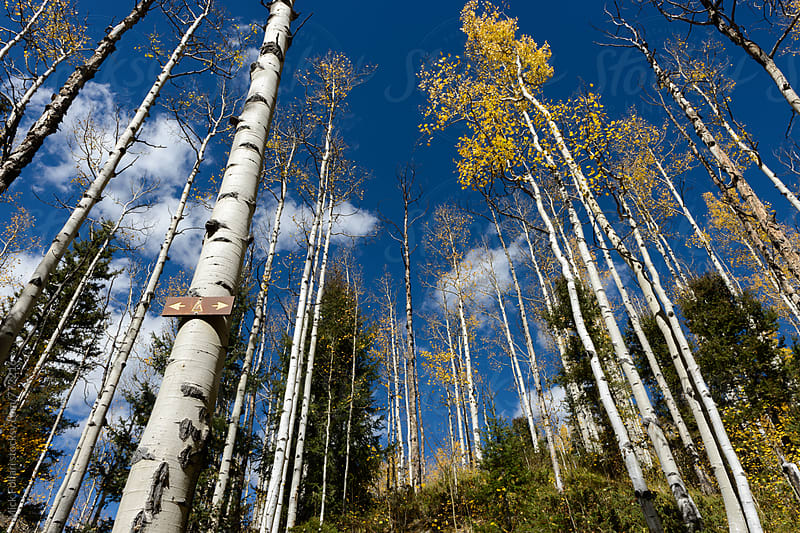 Trail sign and aspens in autumn by Mick Follari for Stocksy United