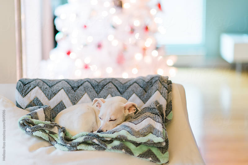 Small white dog napping on a couch. by Melissa Ross for Stocksy United