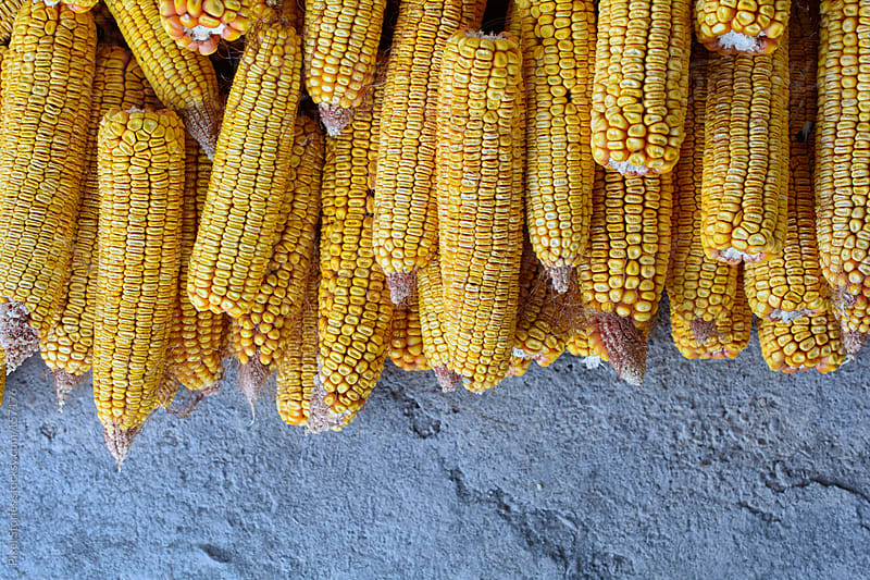 Dry corn by Pixel Stories for Stocksy United