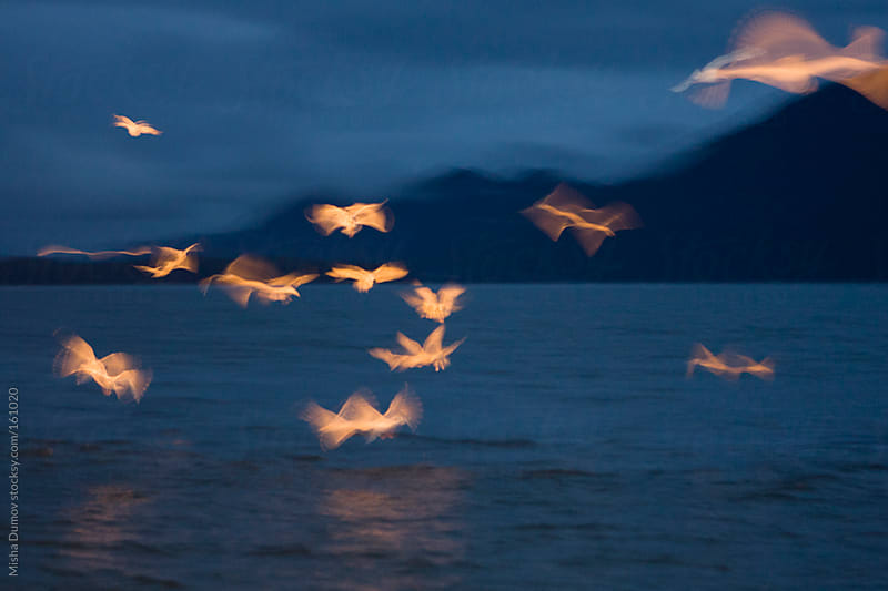 Abstract blur of seagulls at night illuminated by boat spotlights by Mihael Blikshteyn for Stocksy United