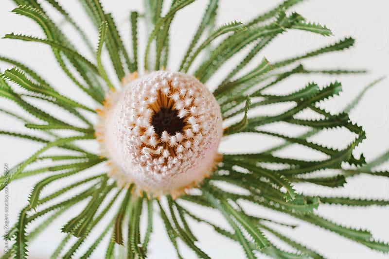 Australian native flower banksia by Cameron Zegers for Stocksy United