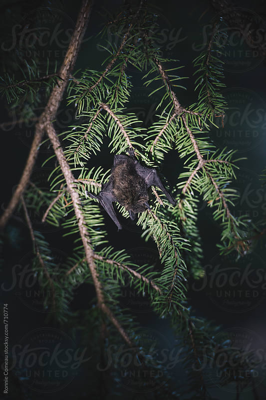 Bat Sleeping In Tree by Ronnie Comeau for Stocksy United
