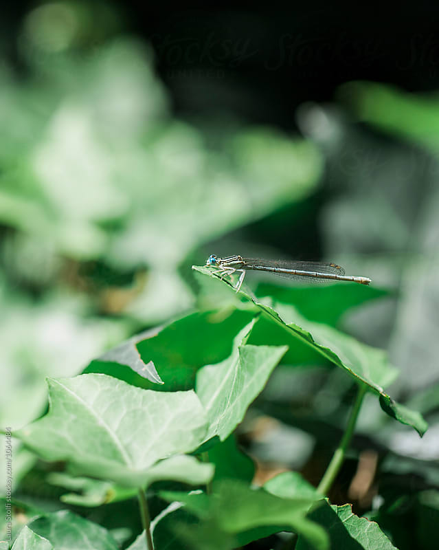 Blue dragonfly on ivy leaf in summer day by Laura Stolfi for Stocksy United