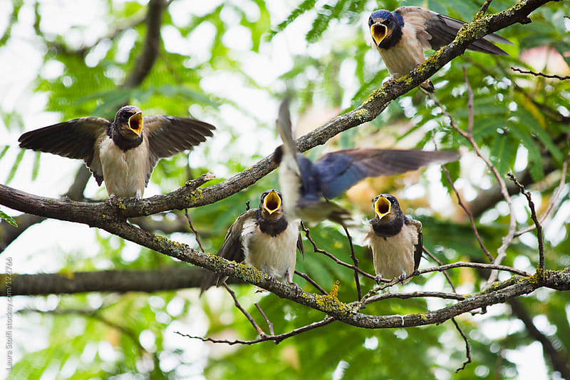 Mother swallow flying towards hungry young swallows waiting for food with mouth wide open by Laura Stolfi for Stocksy United