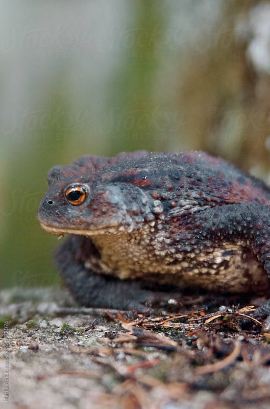 mountain frog by Marija Anicic for Stocksy United