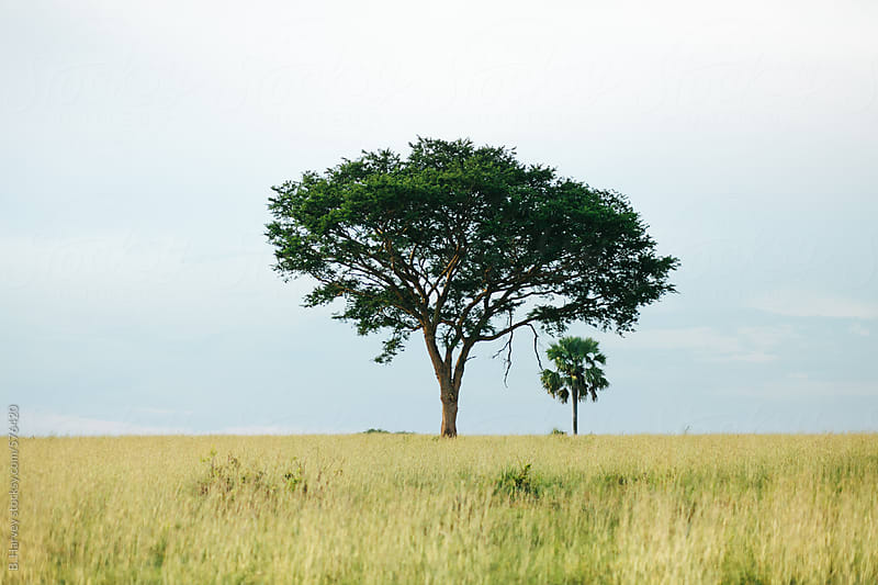 Two Trees in Uganda Africa by B. Harvey for Stocksy United
