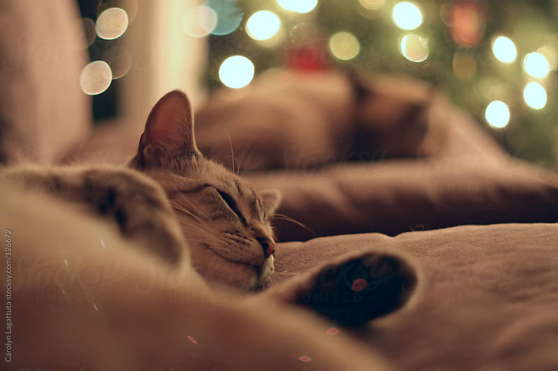 Two cats sleeping with lights behind them by Carolyn Lagattuta for Stocksy United