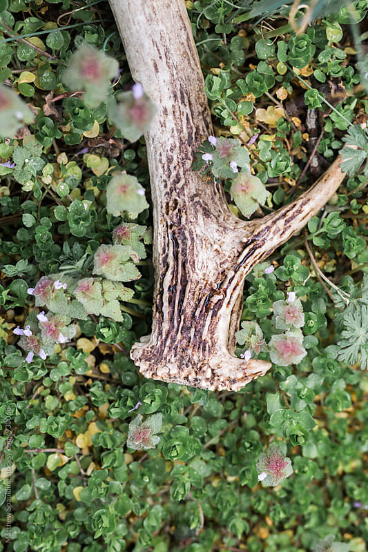 Deer antler shed on ground in clover patch close up by Matthew Spaulding for Stocksy United