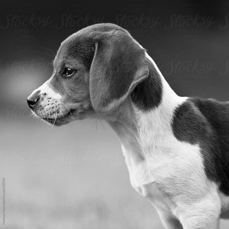 Beagle Puppy by Thomas Hawk for Stocksy United