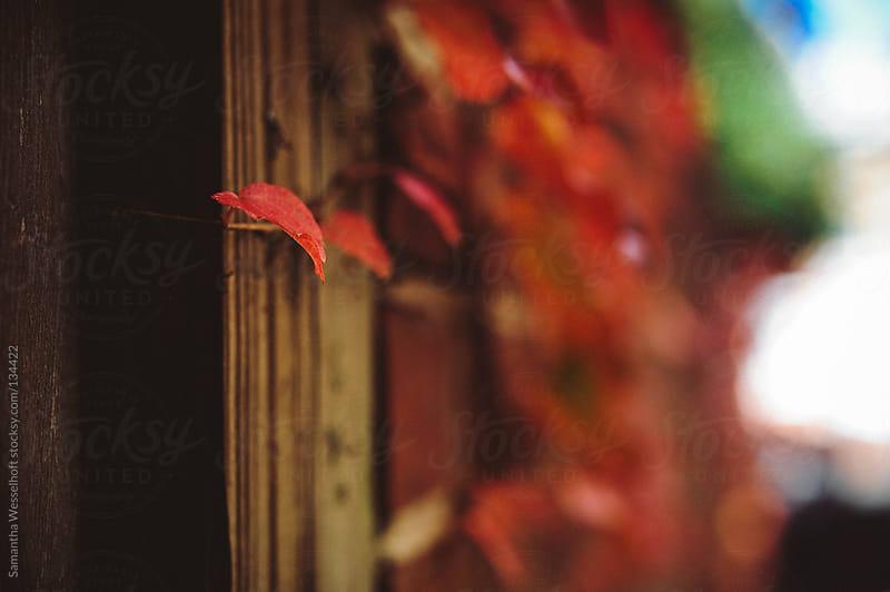 autumn ivy by Samantha Wesselhoft for Stocksy United