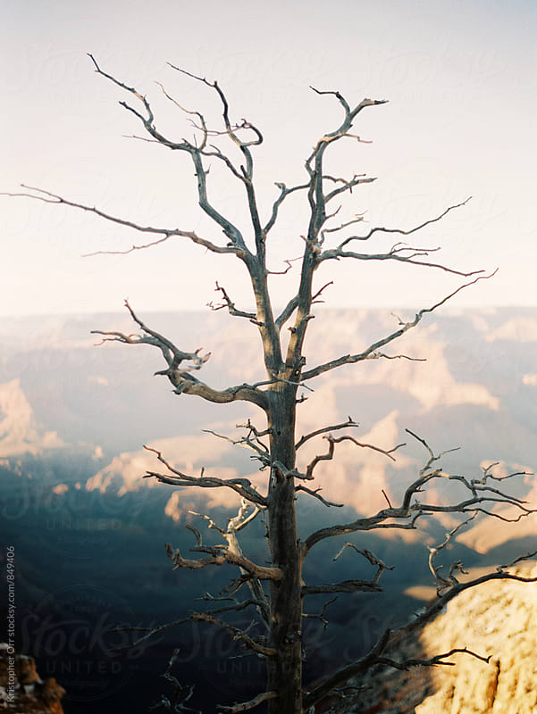 Dead Tree at the Grand Canyon by Kristopher Orr for Stocksy United