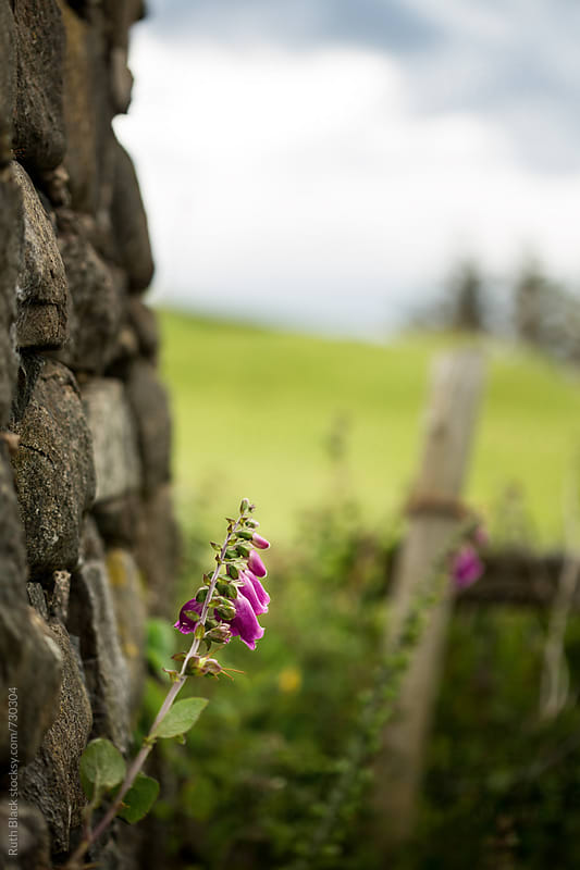 Foxgloves growing wild against a stone wall by Ruth Black for Stocksy United